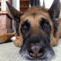 Baron (german Shepherd)